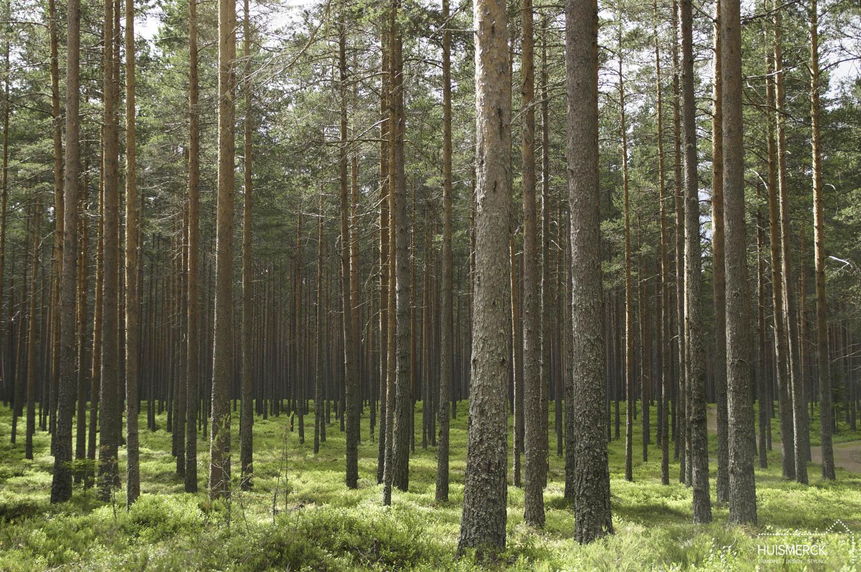 Bomen bos Zweden.jpg