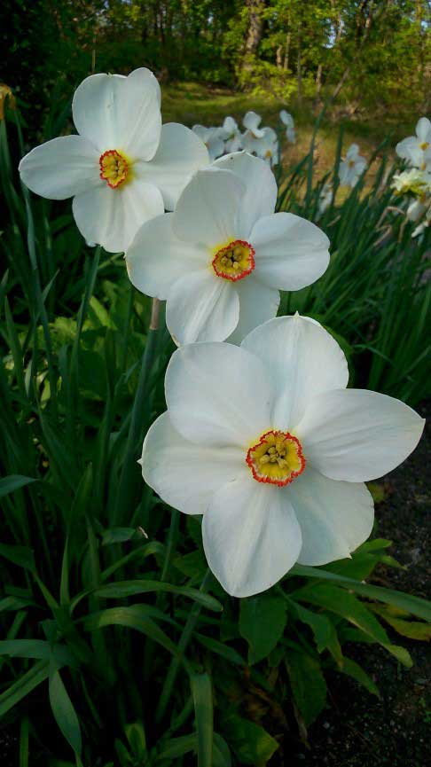 'Narcissus' photo taken by Peter Fairbrother