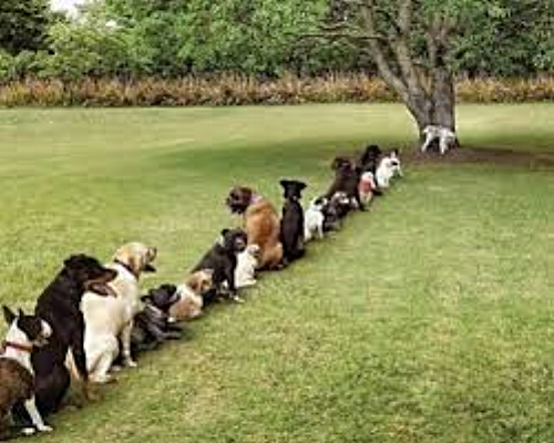 Dog's Queuing For Use of a Tree