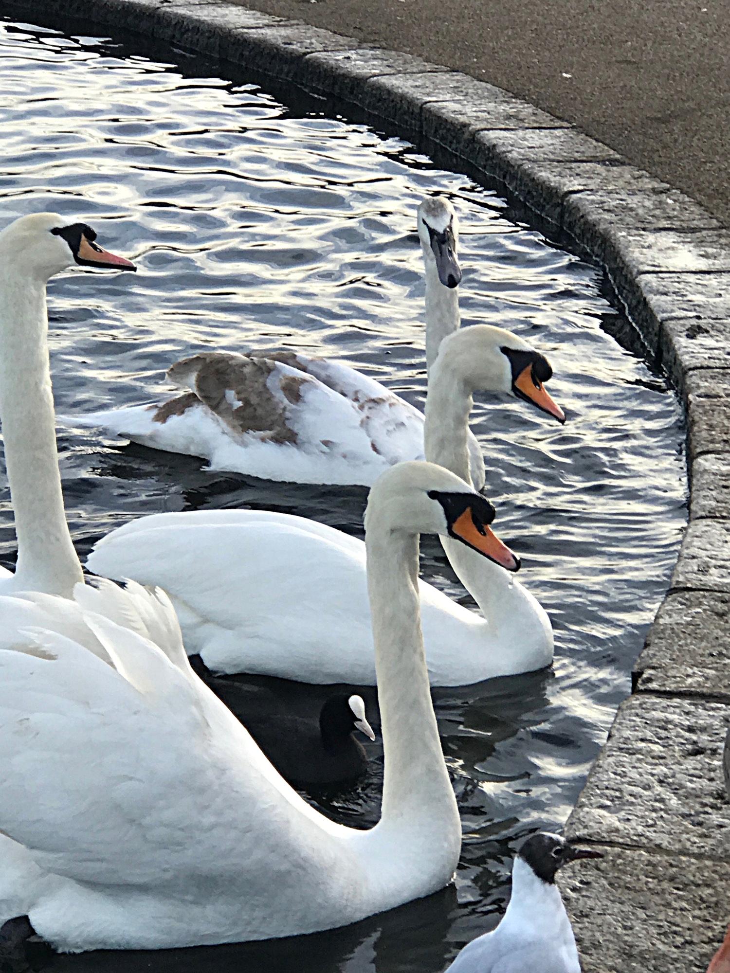 Swans in Round Pond in Kensington Gardens