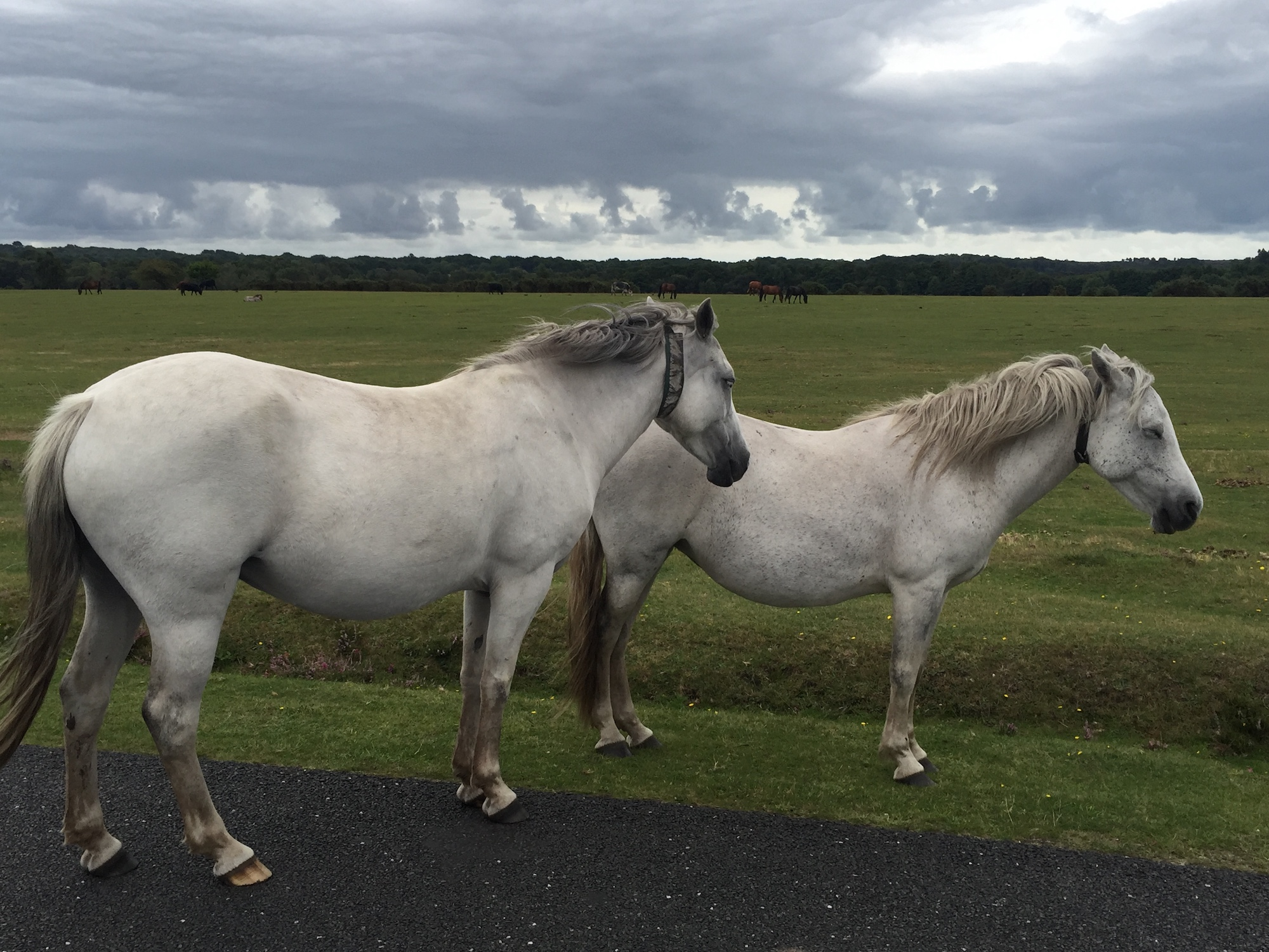 TWO WILD SILVER HORSES. NEW FOREST UK.JPG