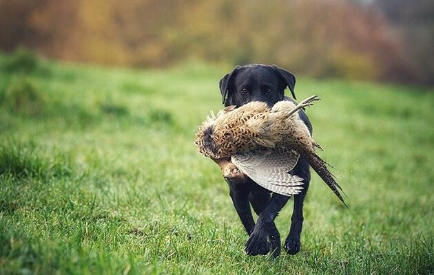 Dog with Pheasant.jpeg