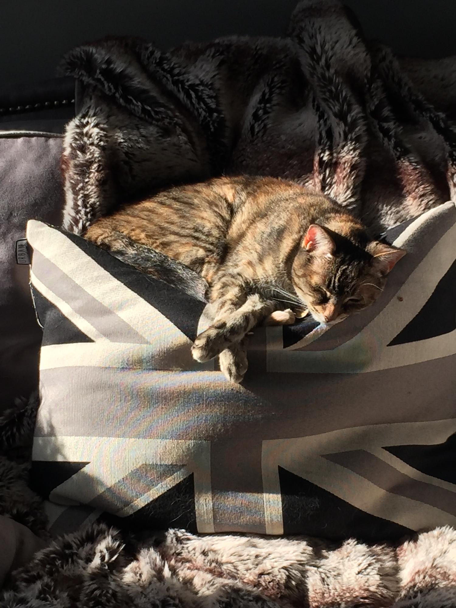 Maggie Sleeping in the Sun on Union Jack Pillow.jpg