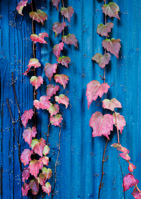 Vines_on_a_shed