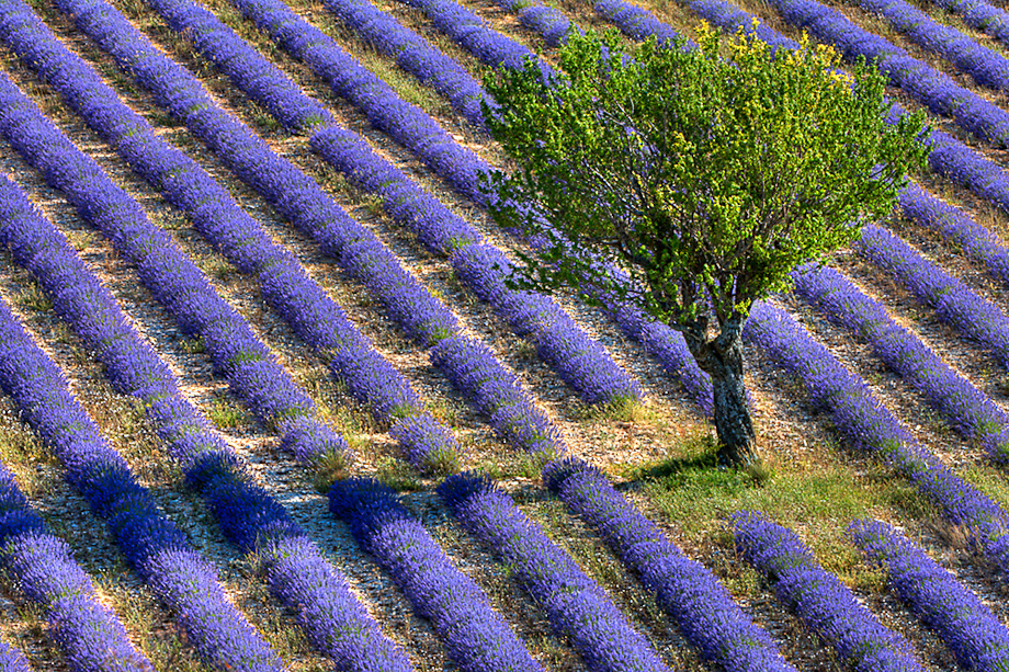 Lavender by Bryan Peterson