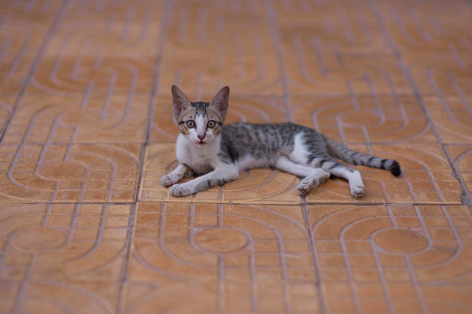 Cat in Phnom Penh, Cambodia