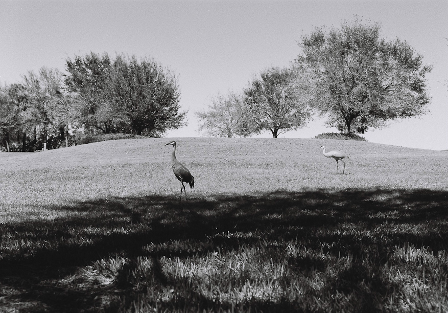 Sandhill Cranes in Florida