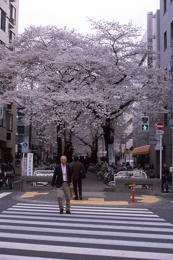 Cherry Blossoms in Toritsu Daigaku