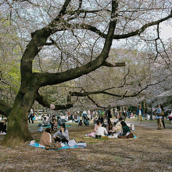 Ohanami at Kinuta Park