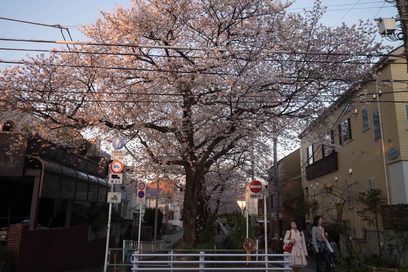 Nakane Cherry Blossoms