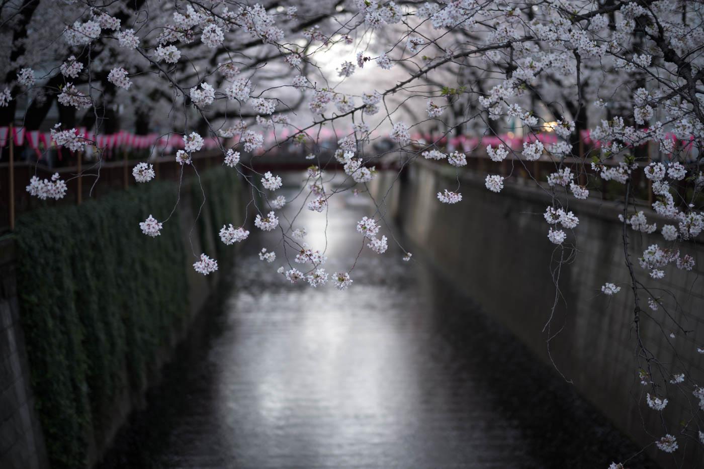 Nakameguro Cherry Blossoms at Meguro River