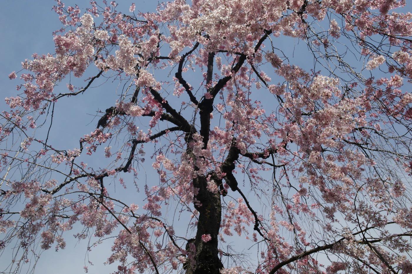 Cherry Blossoms in Jiyugaoka