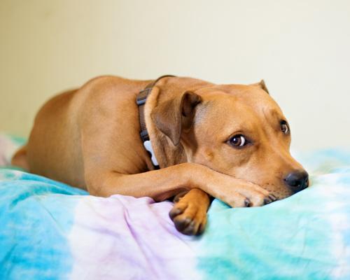 (A portrait of Hazel by  Tischman Pet Photography )