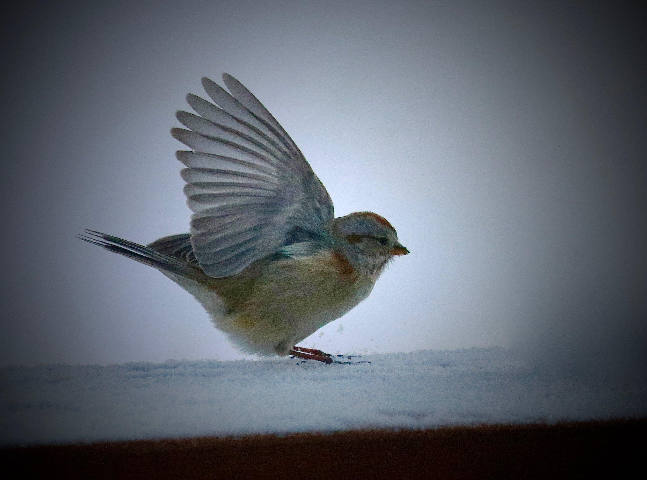 American Tree Sparrow, Home, Colorado, USA