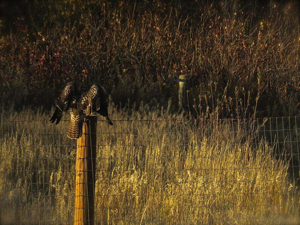 Red Tailed Hawk, Home, Colorado, USA