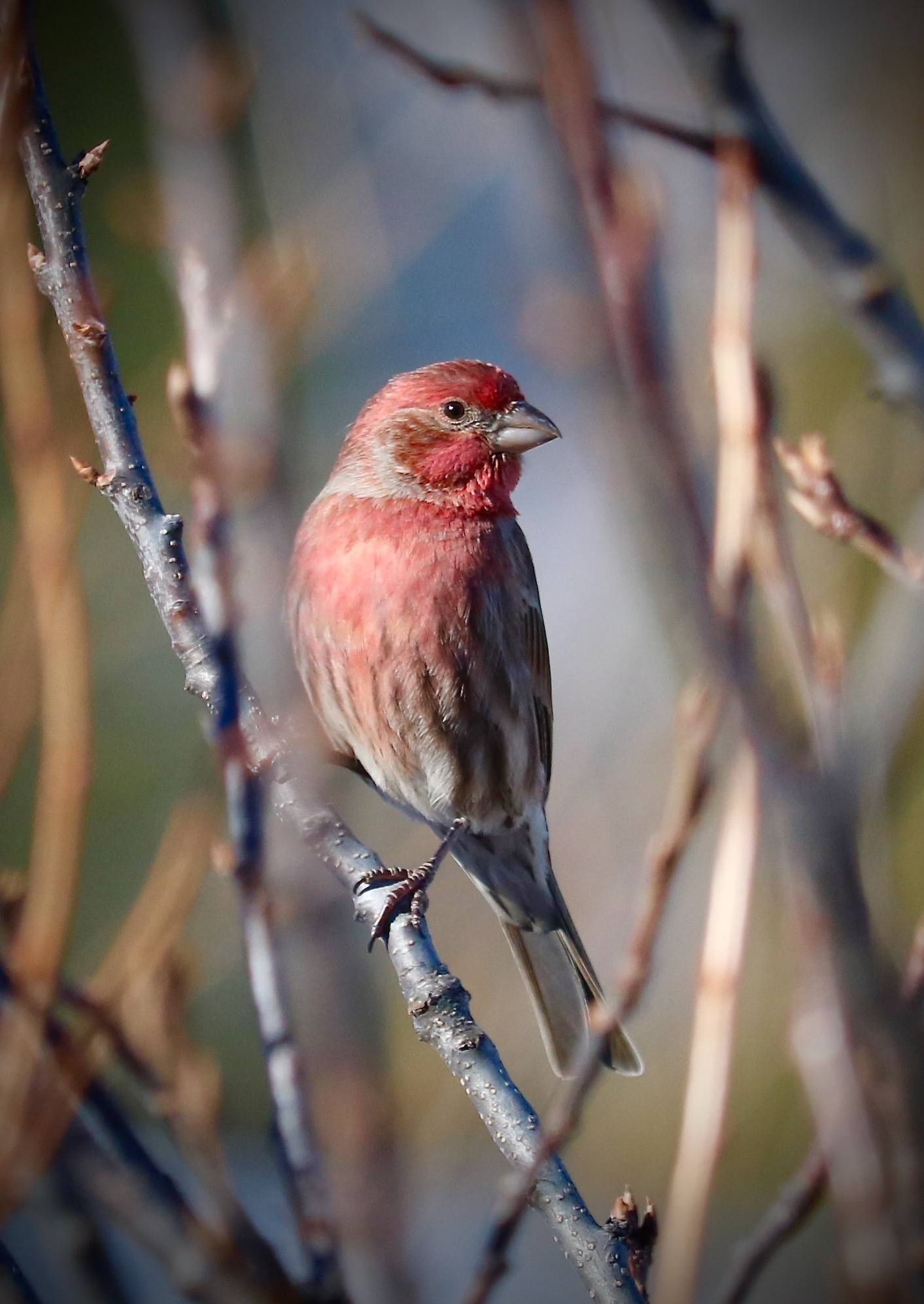 House Finch, Home, Colorado, USA