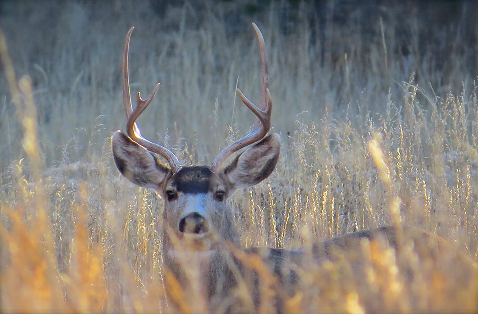 Mule Deer, National Forest Trail, Colorado, USA