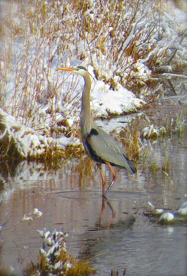 Great Blue Heron, Home, Colorado, USA