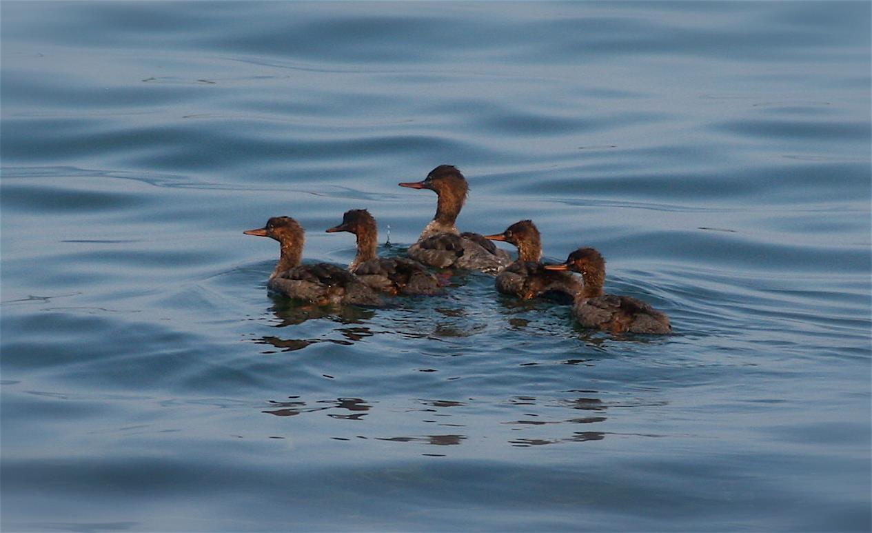 Mergansers, Lake Superior, Isle Royale National Park, Michigan, USA