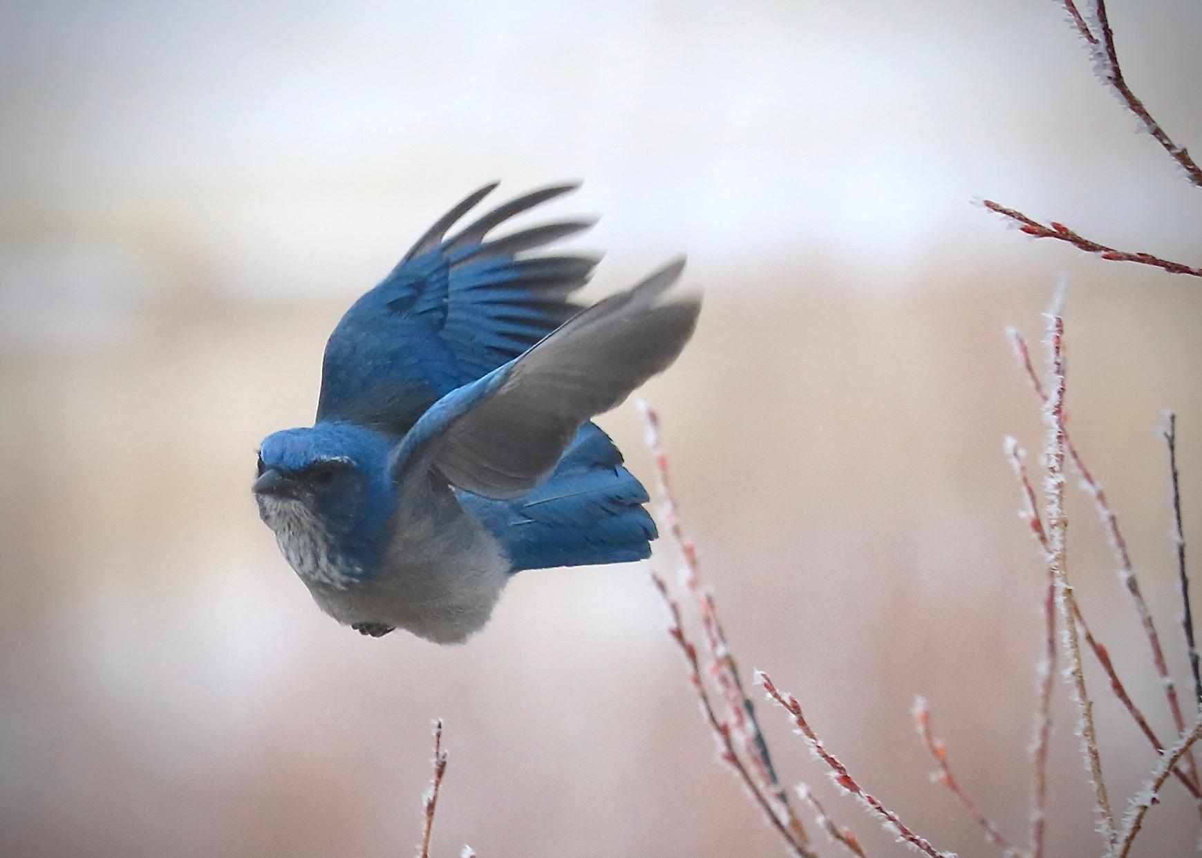 Scrub Jay, Home, Colorado, USA
