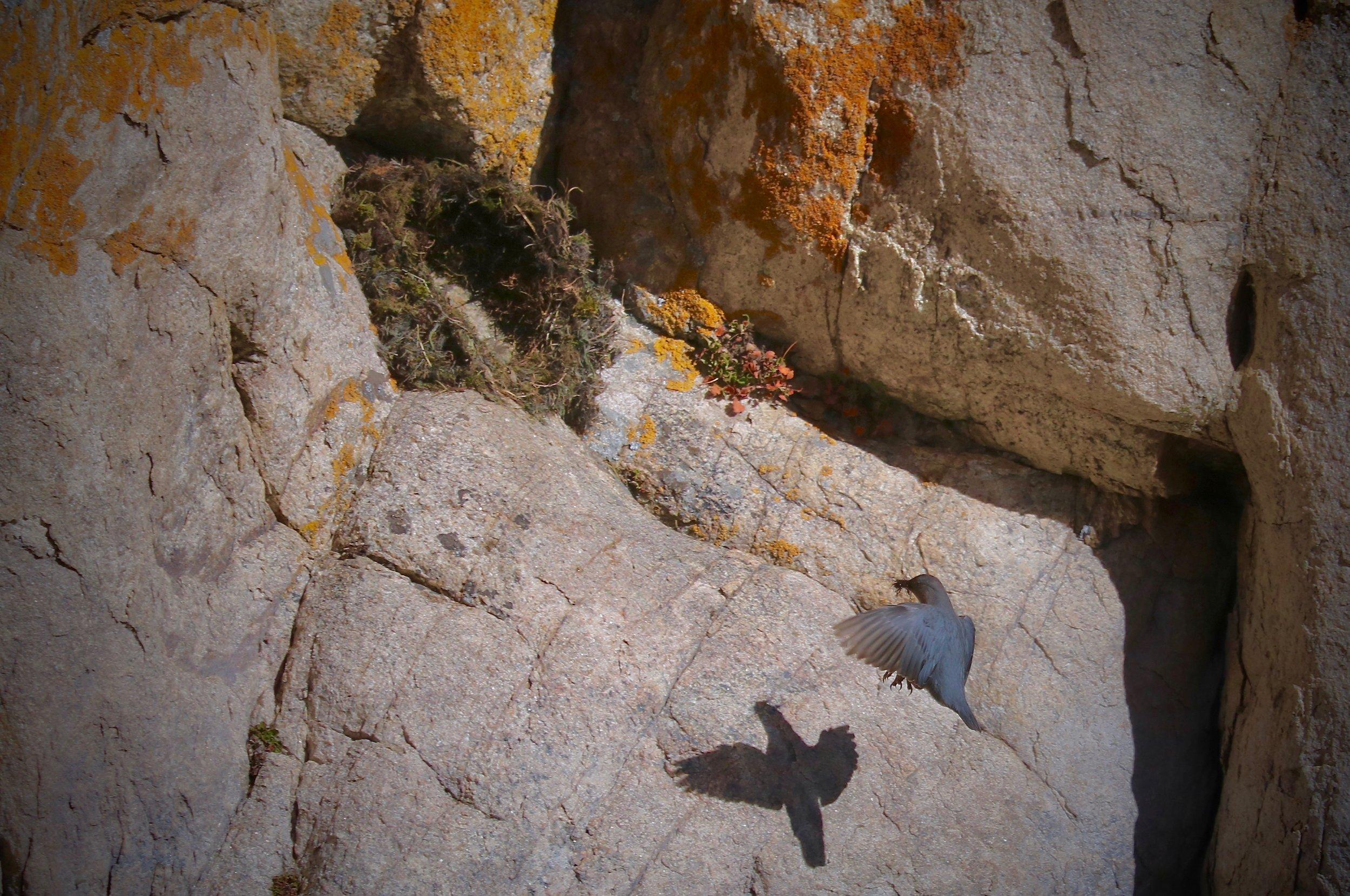 American Dipper, nest-building, South Platte River, Elevenmile Canyon, Colorado, USA