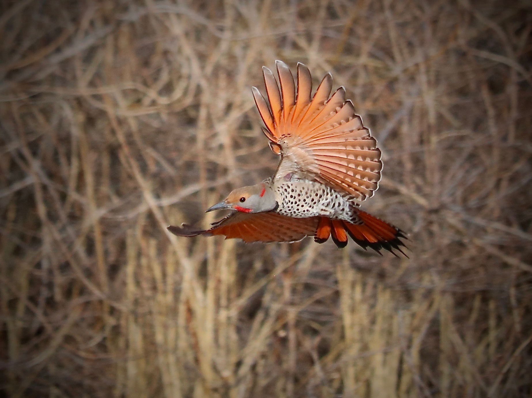 Northern Flicker, Home, Colorado, USA