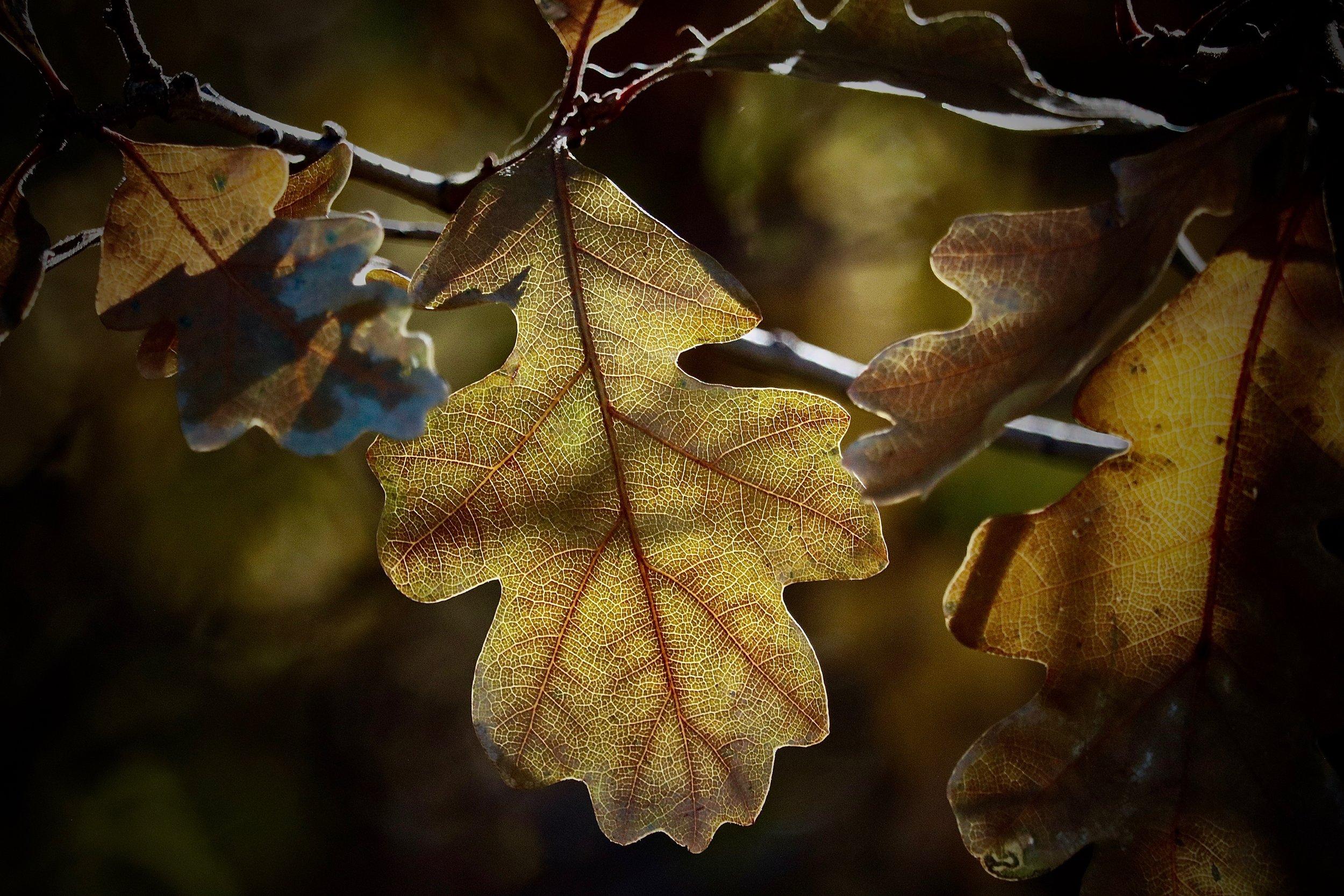 Scrub Oak. At home in Colorado.