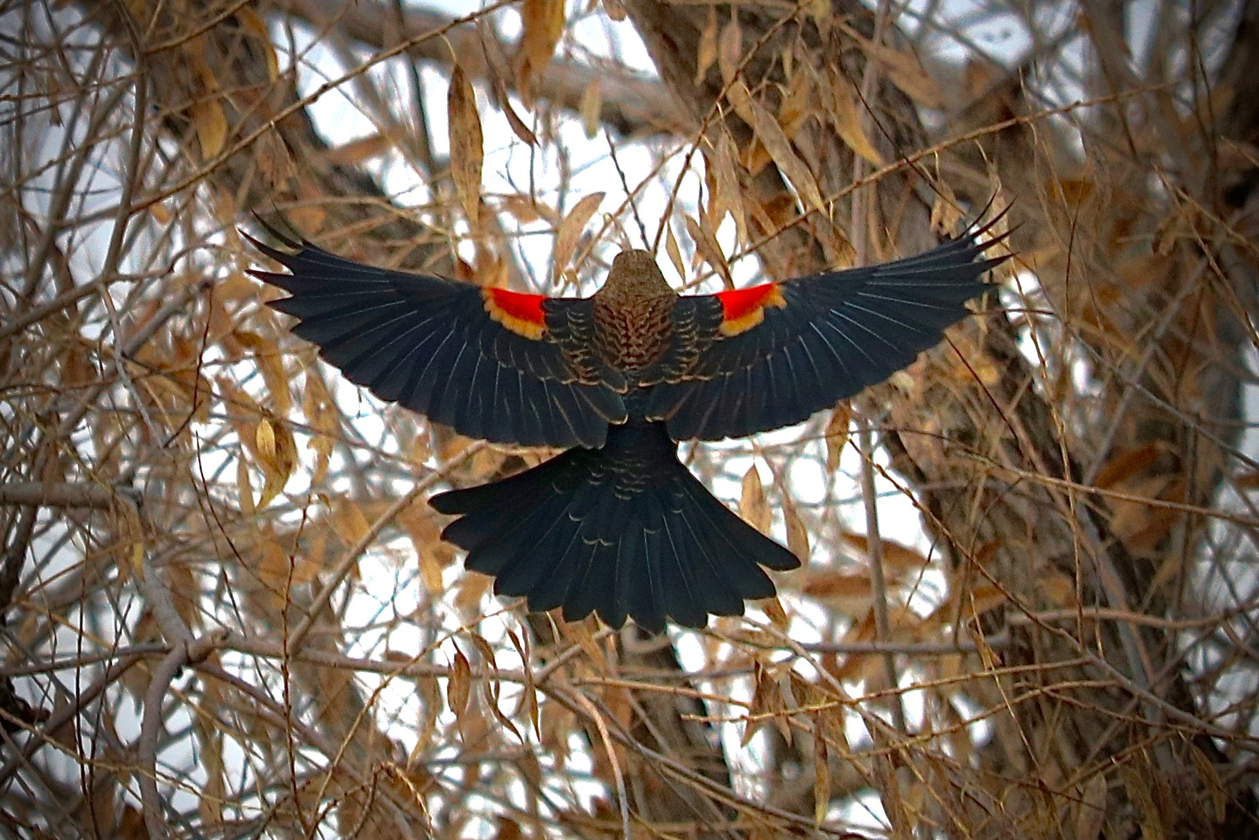 Red-winged blackbird. At home in Colorado.