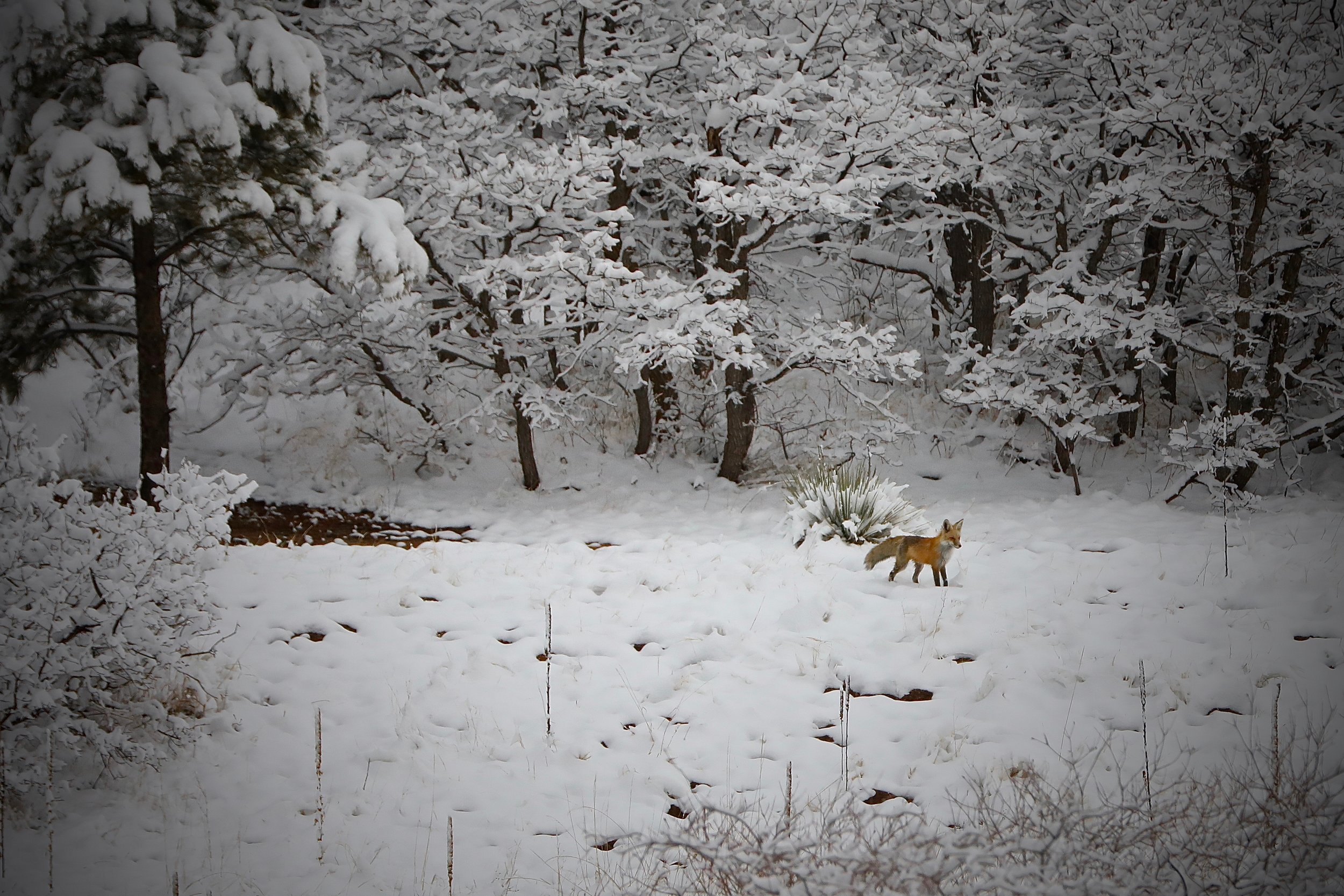 Fox after the Spring storm. Pike National Forest, about 1 mile from the house. Colorado, USA