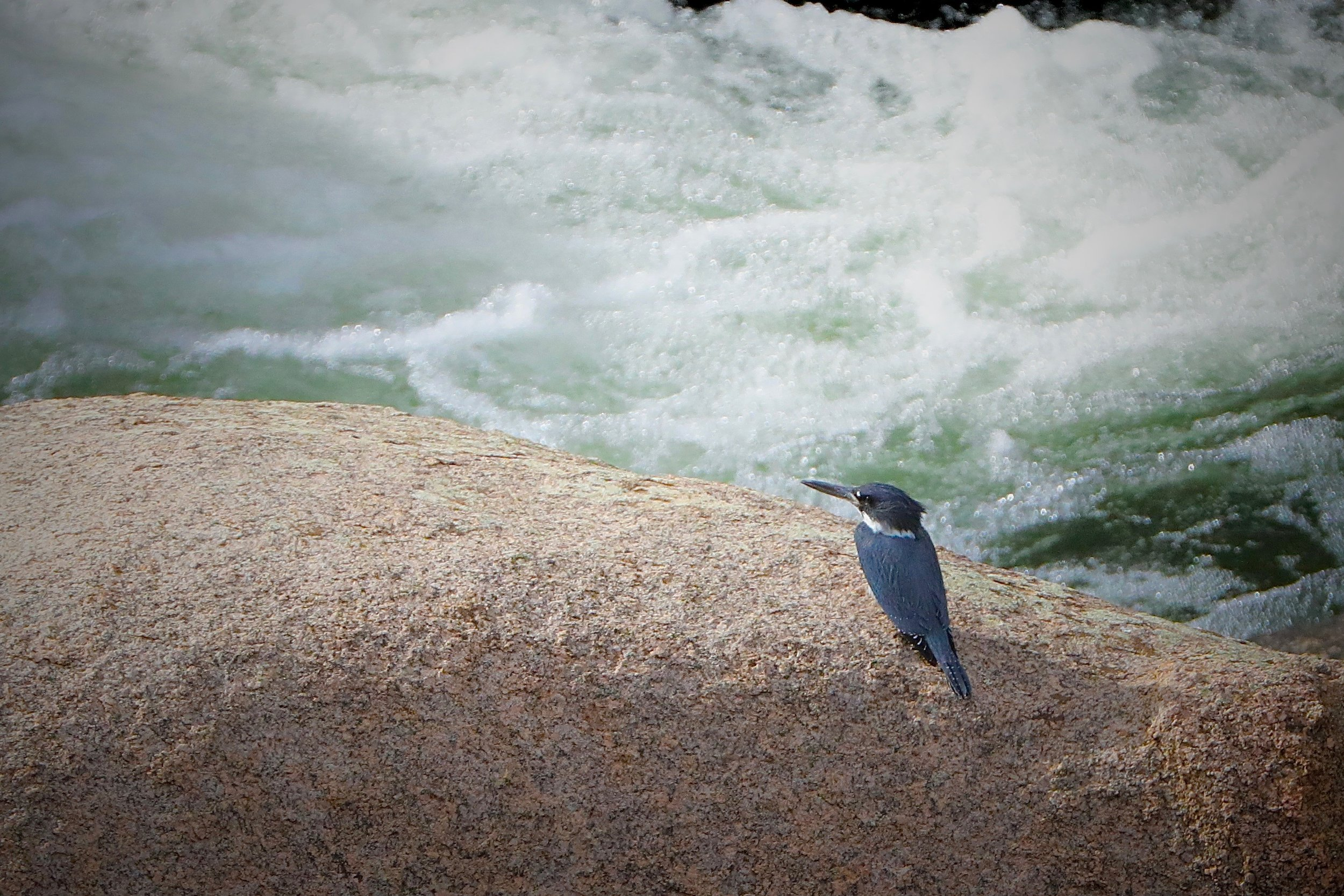 Belted Kingfisher, South Platte River, Elevenmile Canyon, Colorado, USA
