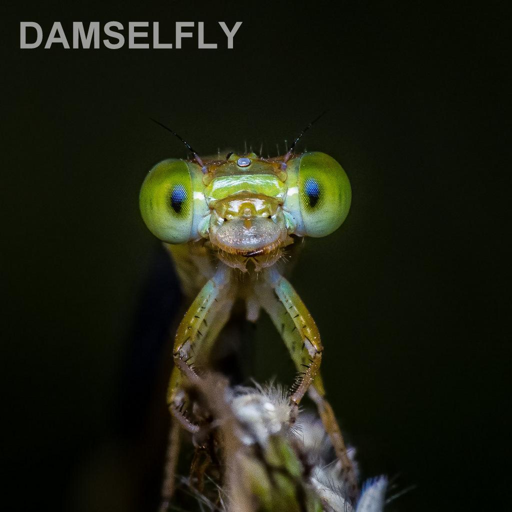DAMSELFLY.jpg