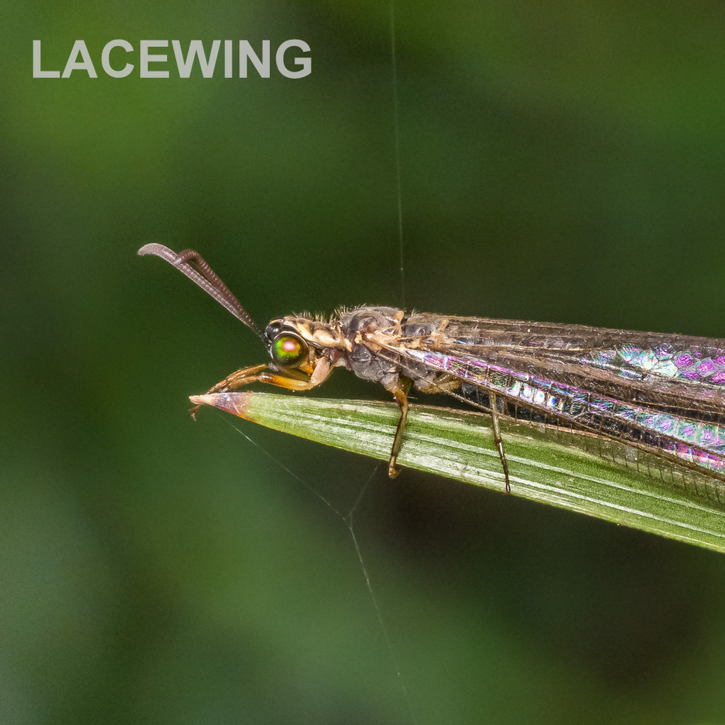 LACEWING.jpg