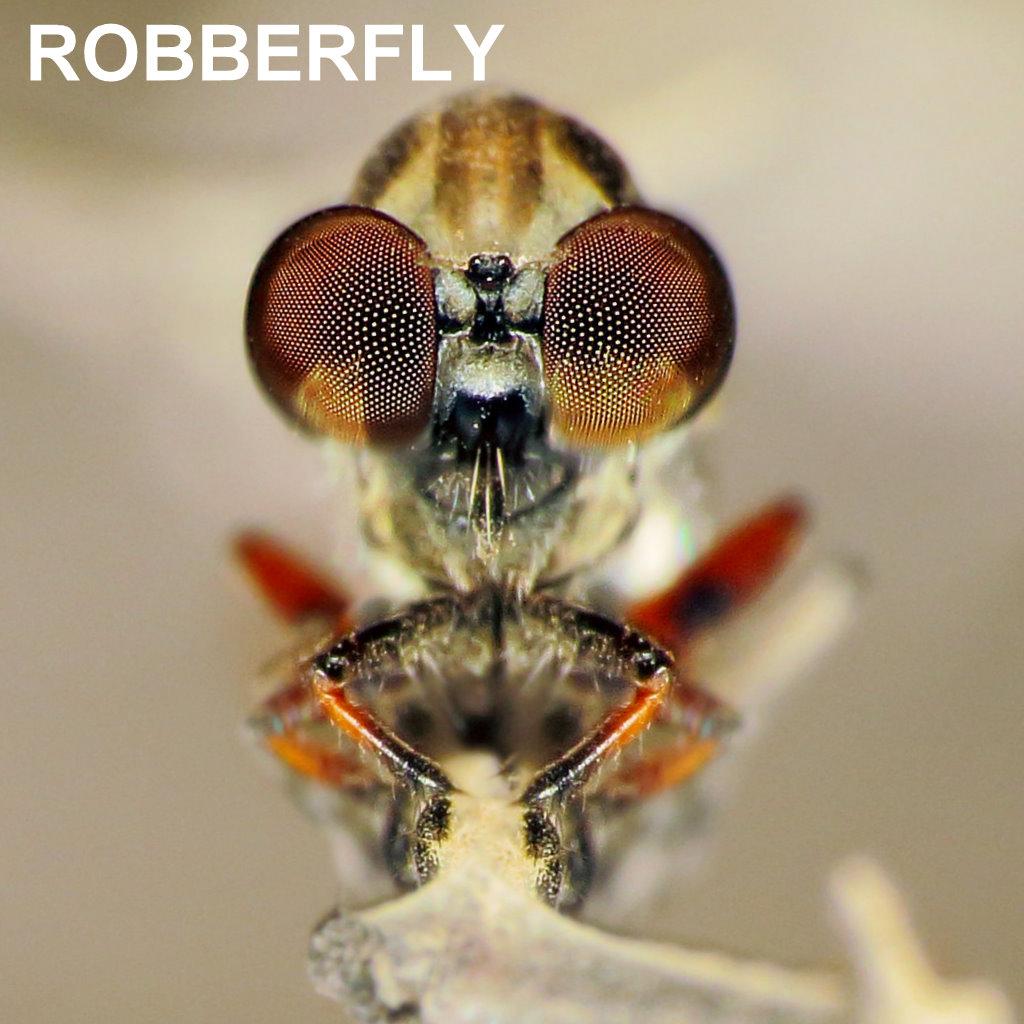ROBBERFLY.jpg