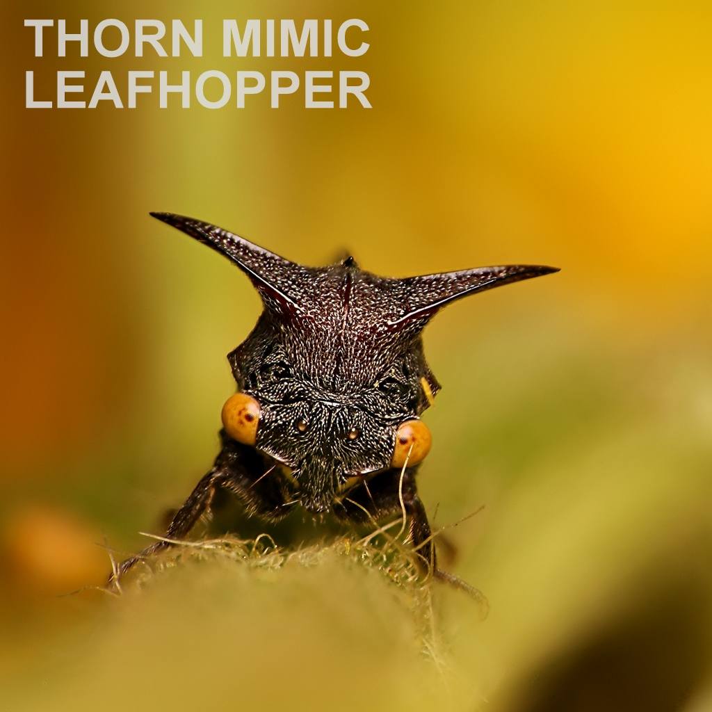 THORN MIMIC LEAFHOPPER.jpg