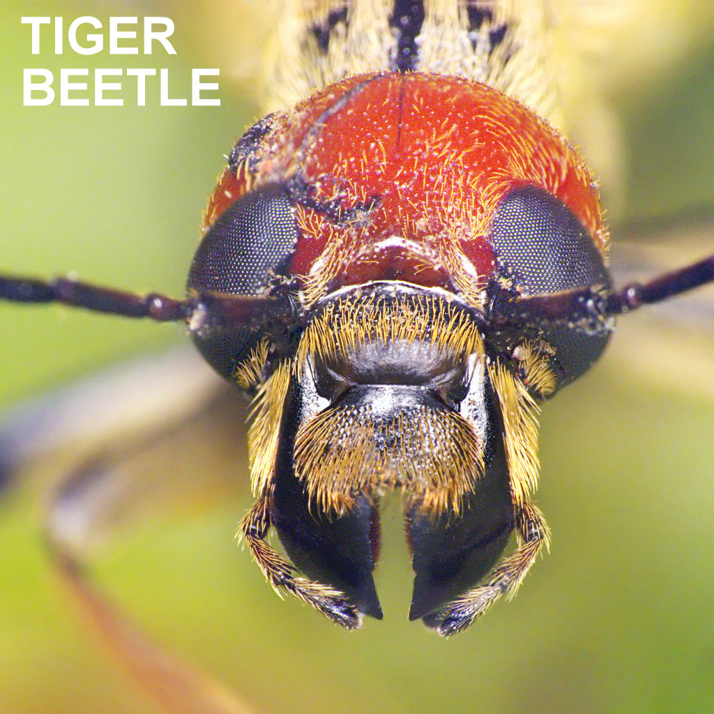 TIGER BEETLE.jpg