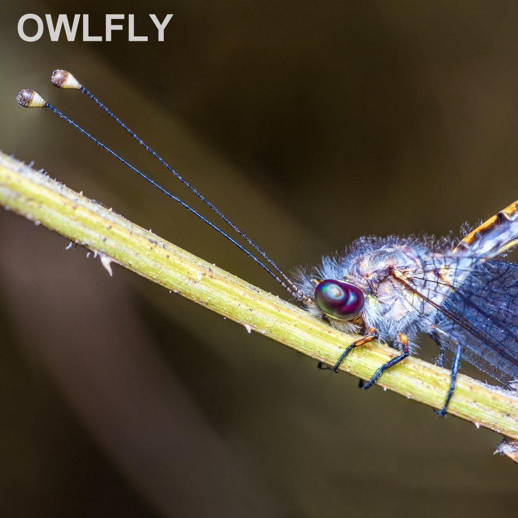 OWLFLY.jpg
