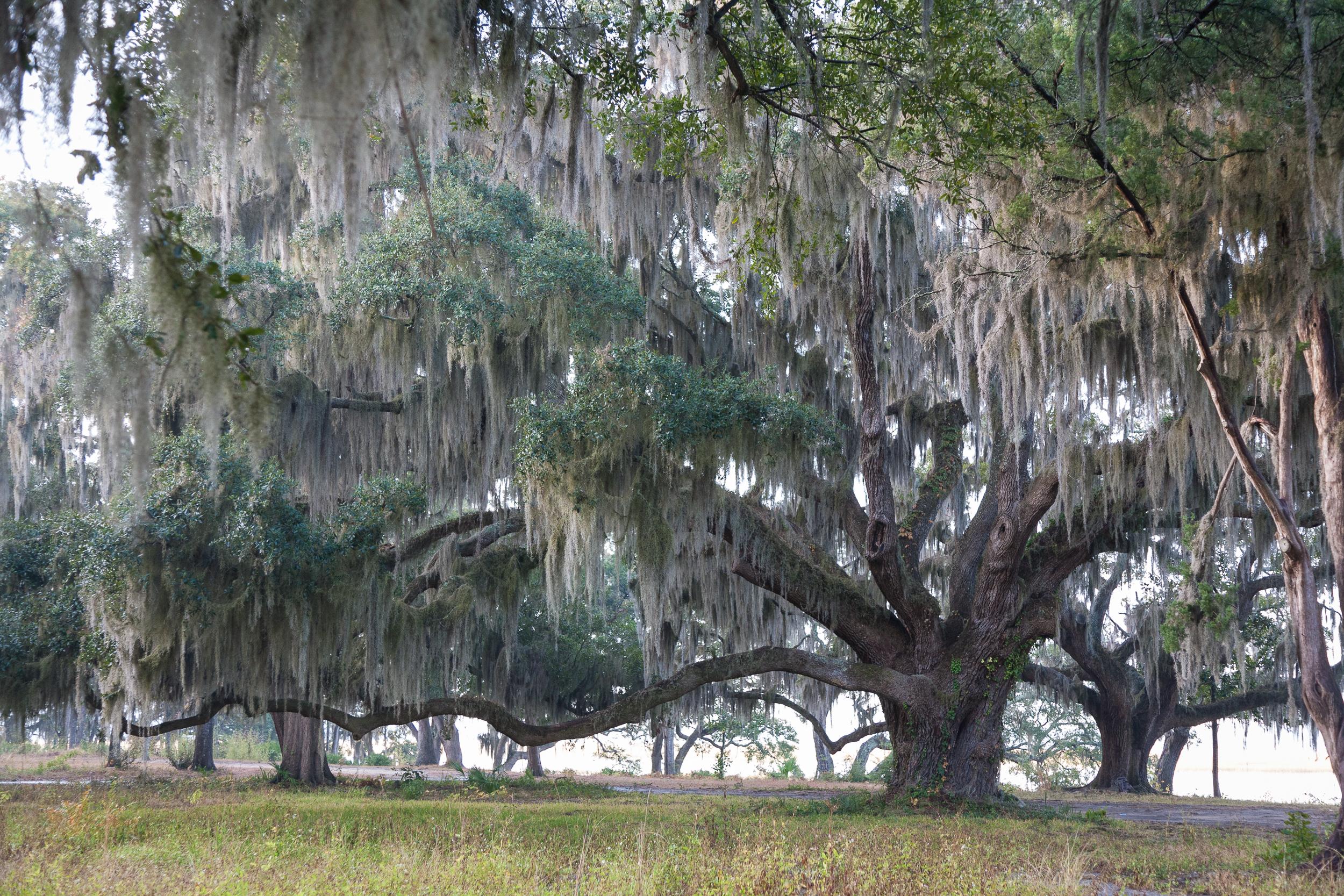 Live Oaks and Spanish moss, Beaufort, South Carolina.