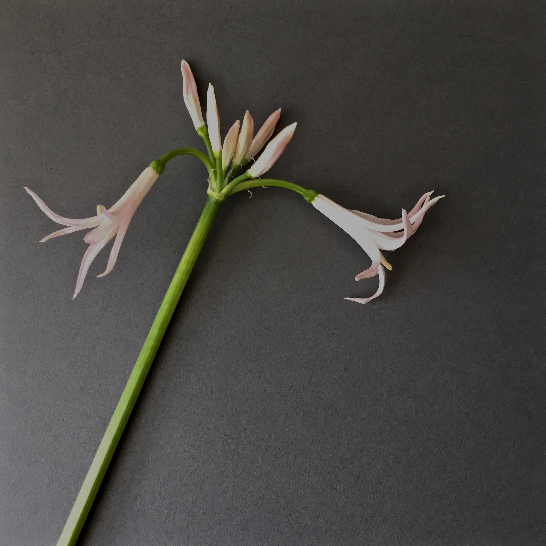 iphonography-flowers-nerine-grey.jpg
