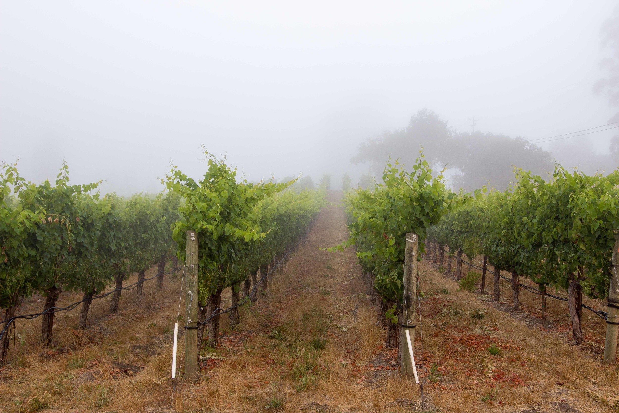 Fog in the Vineyards