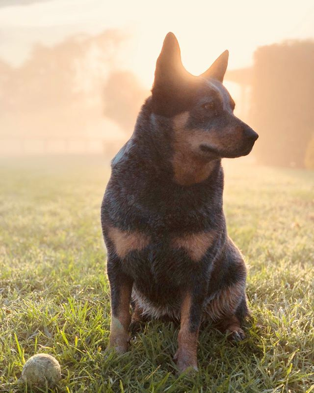 Thanks to our Anzacs we can enjoy beautiful sunrises like this every day. Lest we forget! . . . . . #anzacday #lestweforget #dog #blueheeler #sunrise #portrait #shotoniphone #iphonex #sydney #sydneyphotographer