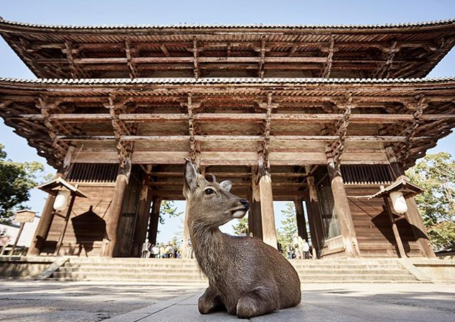 Nara Park, a magical place full of friendly wild deer who co-exist with locals and tourists who flock from all over the world to visit. Absolutely a must-see in Japan!