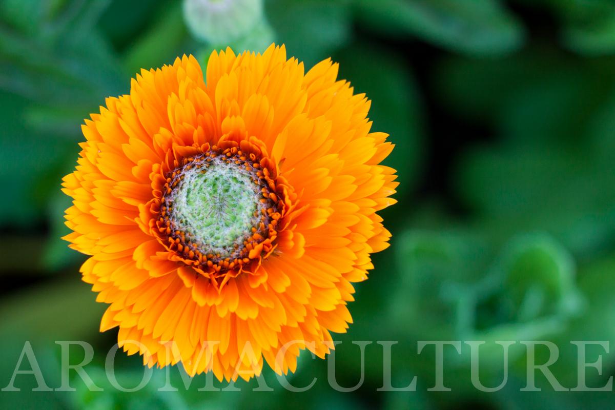 HERBS by erin stewart of aromaculture.com wm-38.jpg