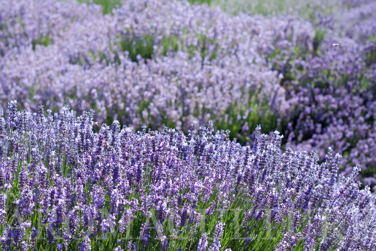 Lavender Days by Erin Stewart ACwm-9.jpg