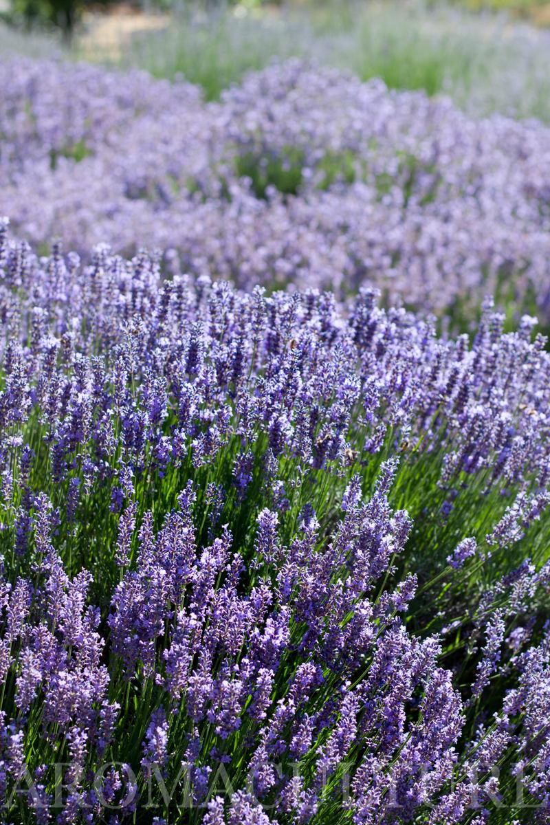 Lavender Days by Erin Stewart ACwm-11.jpg