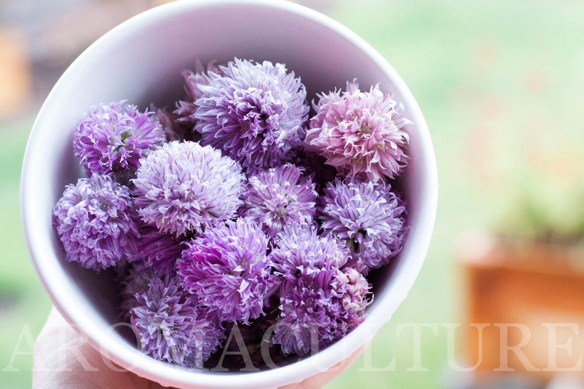 chive blossoms by erin stewart of aromaculture.com wm-1.jpg