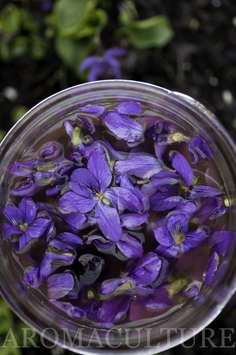 violets by erin stewart of aromaculture.com wm-47.jpg