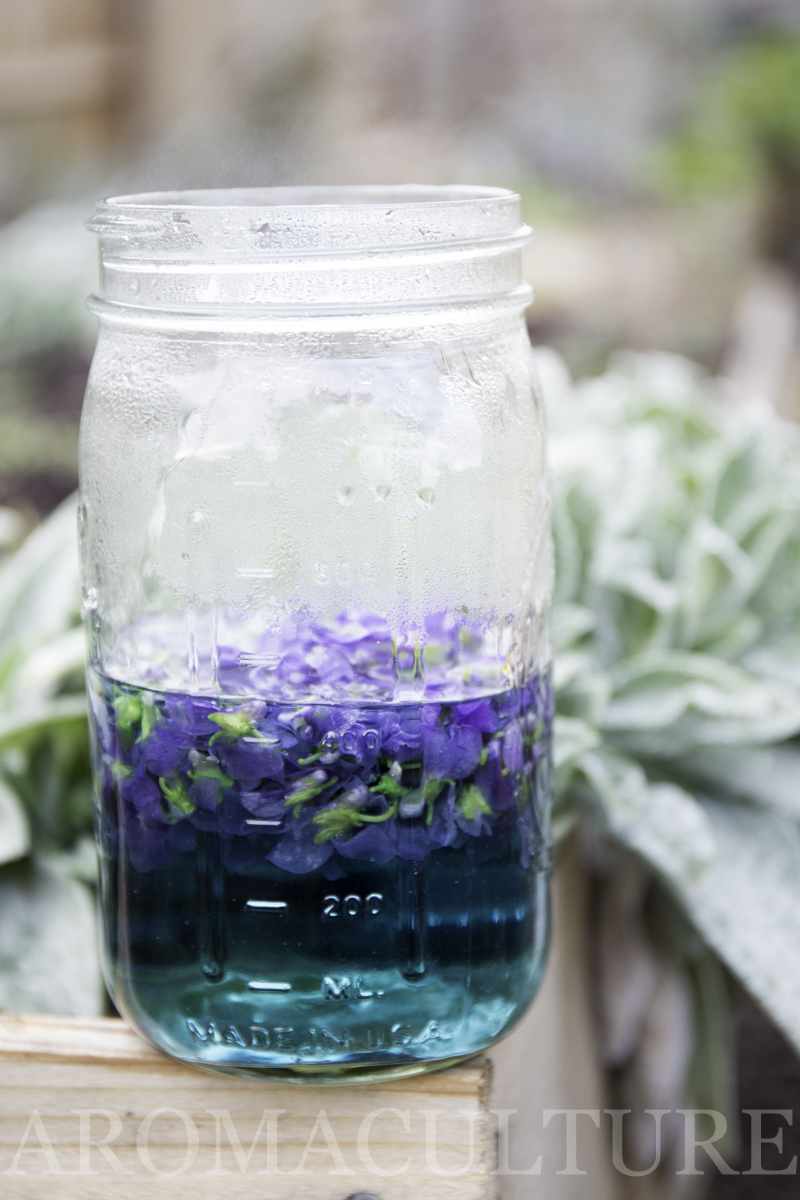 violets by erin stewart of aromaculture.com wm-63.jpg