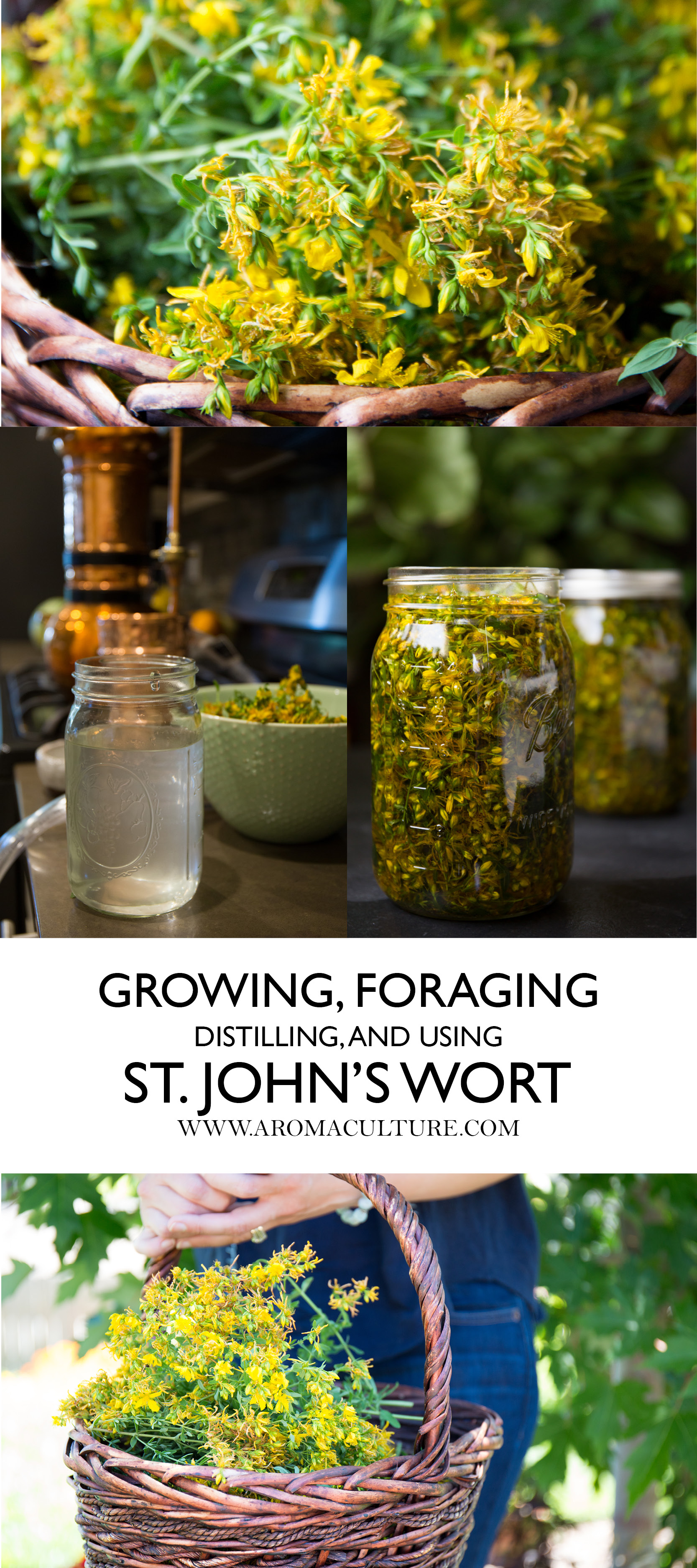 GROWING, FORAGING, DISTILLING AND USING ST JOHNS WORT AROMACULTURE.jpg
