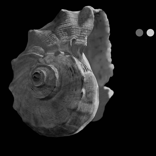 Using a textured brush to describe the details of this seashell.  #zoominzoomout #mycpuisburning #digitaldrawing #digitalpainting #wacomtablets #wacomtablet #texturebrushes #blackandwhite #realism #realisticpaintings #clipstudiopaint #mangastudio