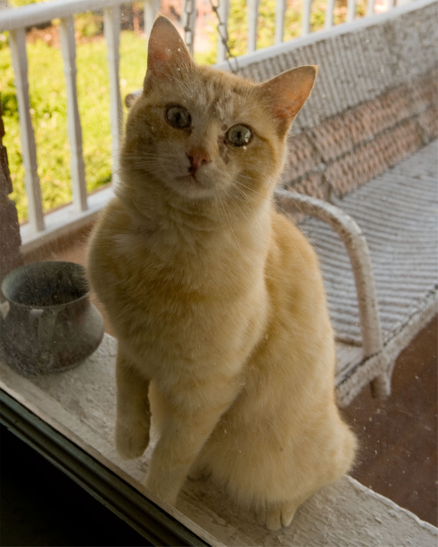 Garfield looking through the front window. He is the first of our Pounce to get adopted out and has a nice new home.